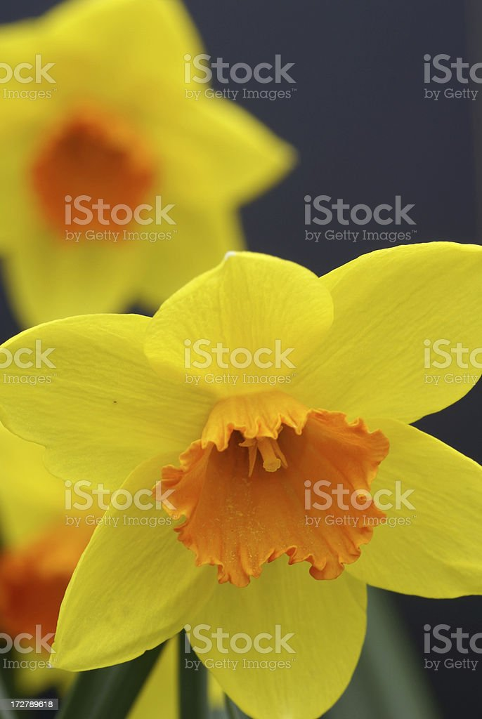 Yellow-orange narcissus royalty-free stock photo
