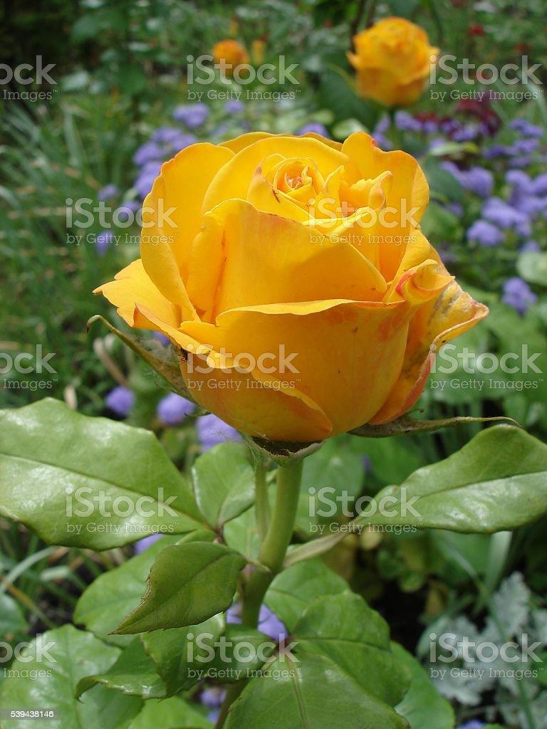 Amarillo Naranja Rosa Florvalencia - Fotografía de stock y más ...