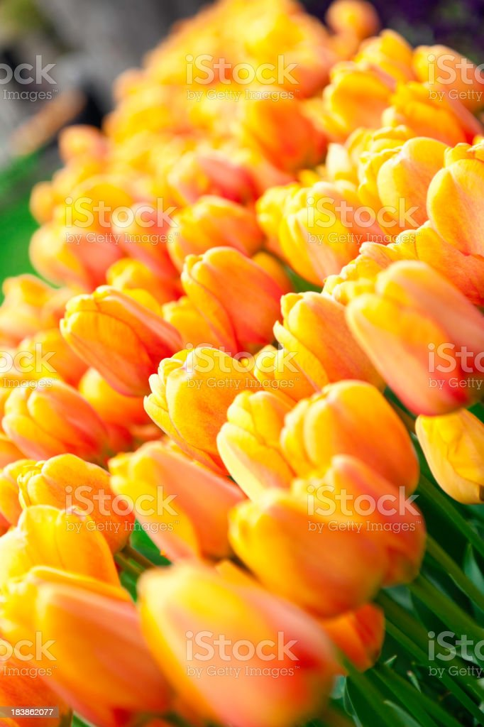 Yellow-orange Turkish tulip royalty-free stock photo