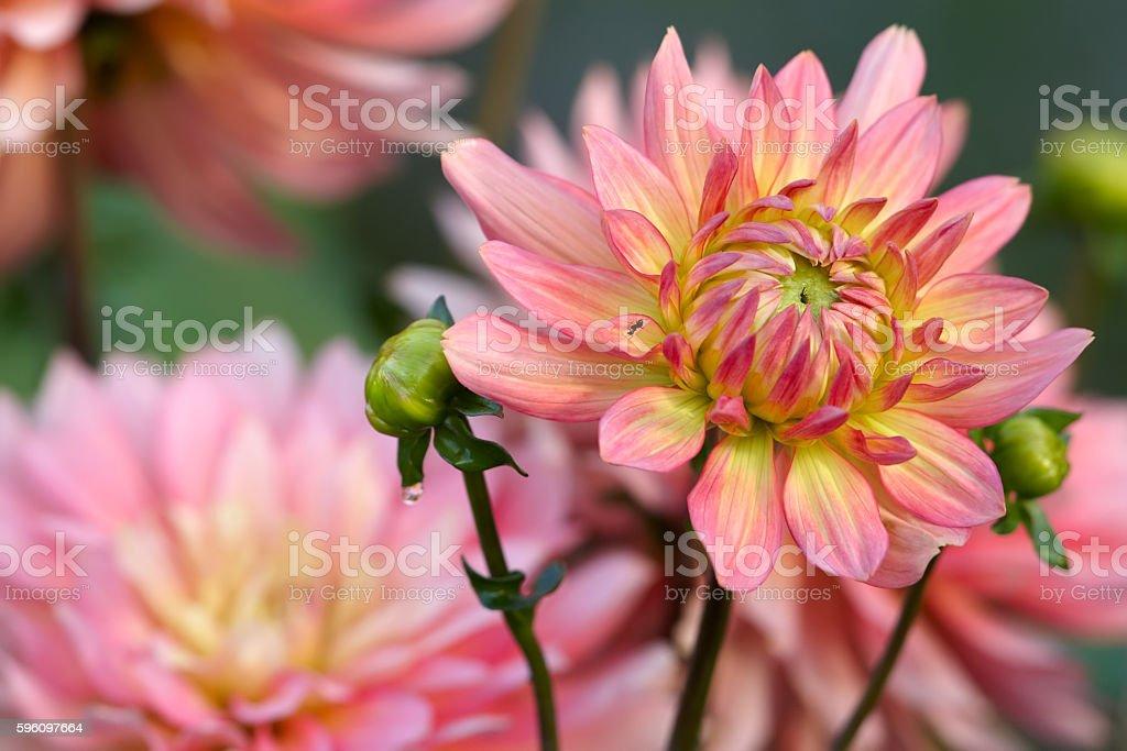 Yellow-pink dahlia royalty-free stock photo