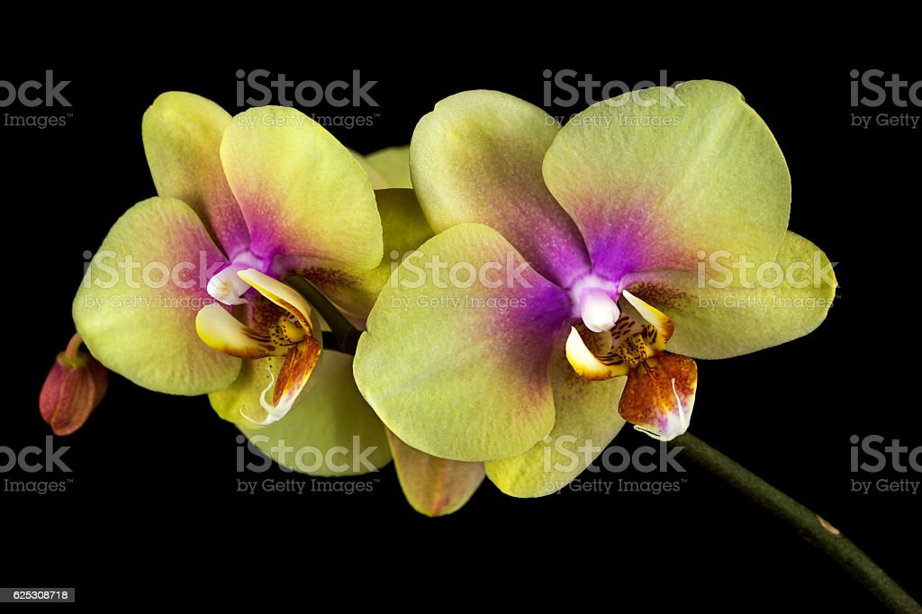 Yellow-pink orchid – Foto