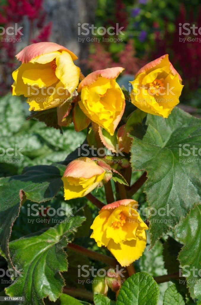 Yellow-Red begonia tuberous blooms in the garden stock photo