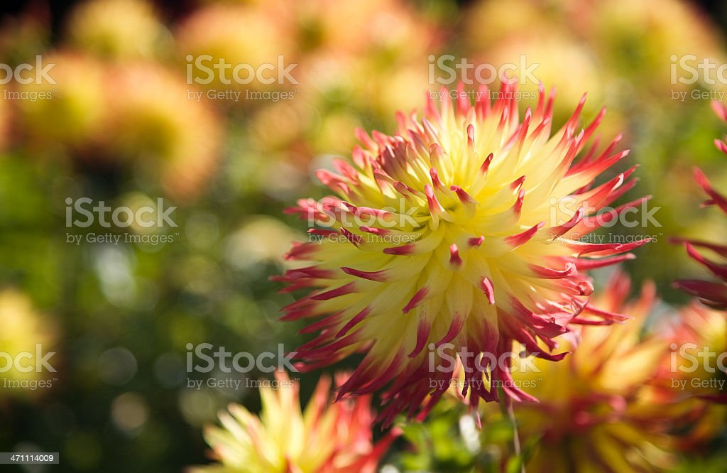 Yellow-red colored Dahlia Dahlia against yellow flower background. Beauty Stock Photo