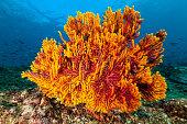 Gorgonian sea fan with fishes behind, Bluestreak Fusilier Pterocaesio tile and Weber'u2019s Chromis Chromis weberi'nNorth of Banda Island, Indonesia 'n4°30'20' S 129°57'8' E