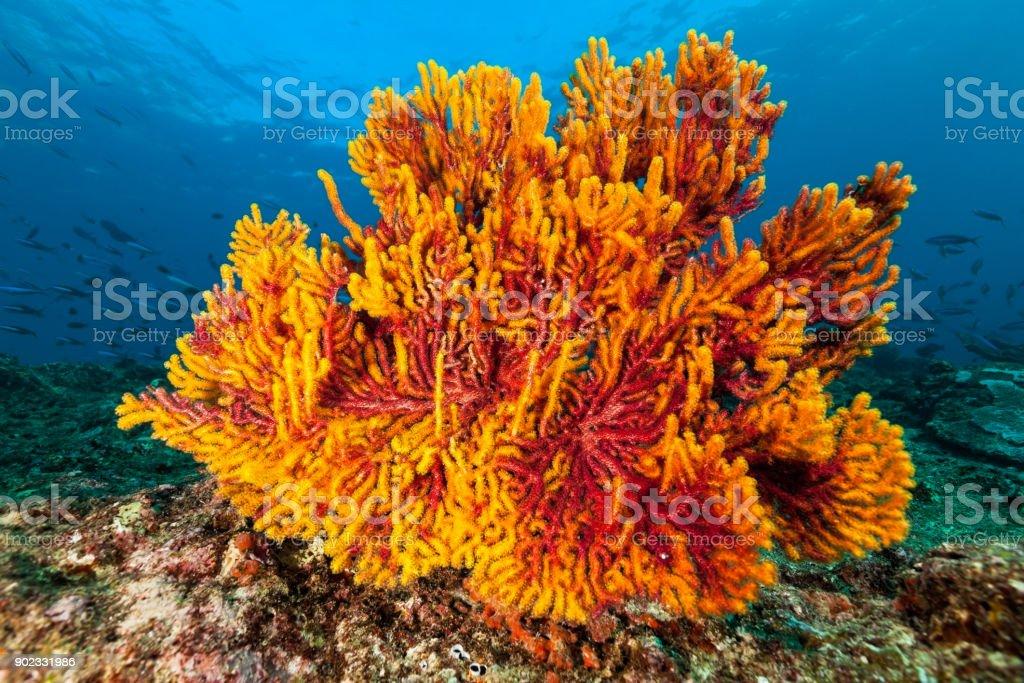 Yellow-Red Gorgonian Sea Fan Beauty near Banda Island, Indonesia stock photo