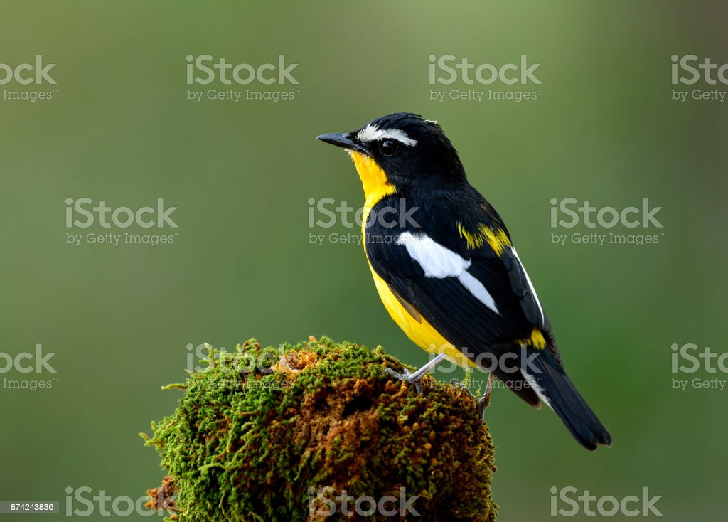 Yellow-rumped flycatcher (Ficedula zanthopygia) the beautiful bl stock photo