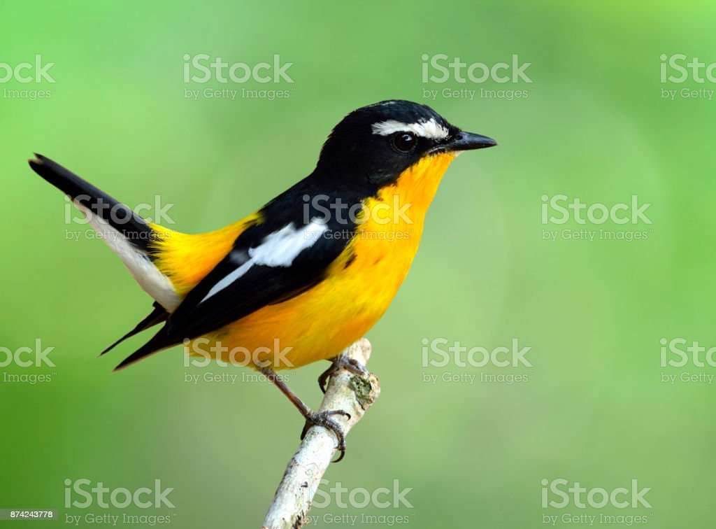 Yellow-rumped flycatcher (Ficedula zanthopygia) the beautiful ye stock photo