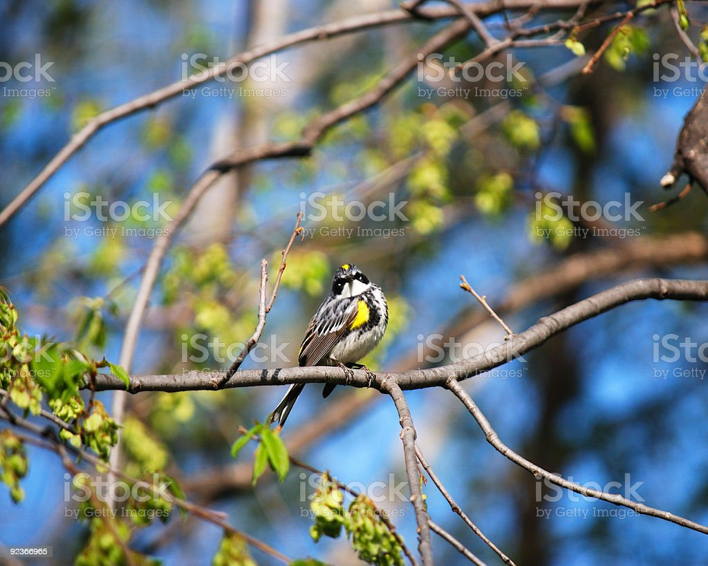 Yellow-Rumped Myrtle Warbler royalty-free stock photo