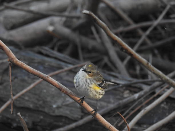 Yellow-rumped warbler at sunrise stock photo