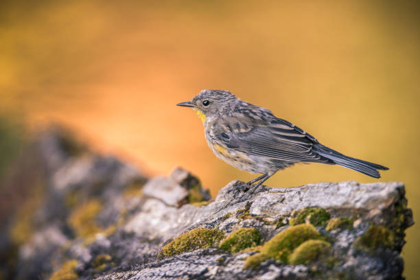 Yellow-rumped Warbler photographed in Lassen Volcanic National Park, Northern California stock photo