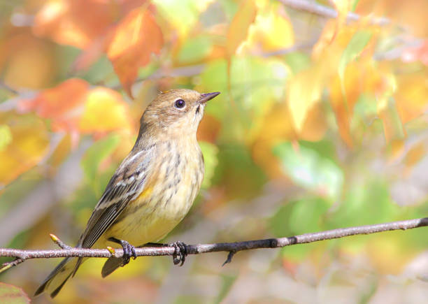 geel-rumped grasmus - zanger vogel stockfoto's en -beelden