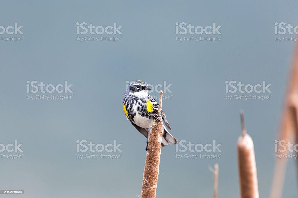 Yellow-rumped Warbler stock photo