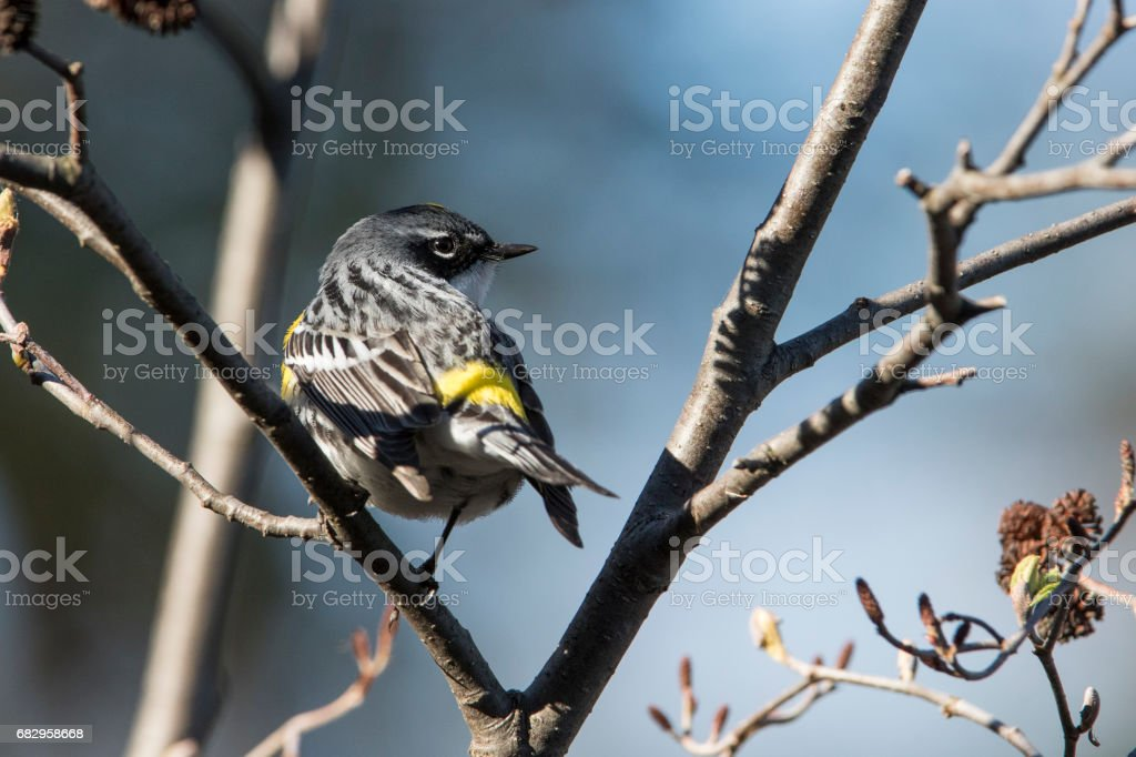 Yellow-rumped warbler royalty-free stock photo