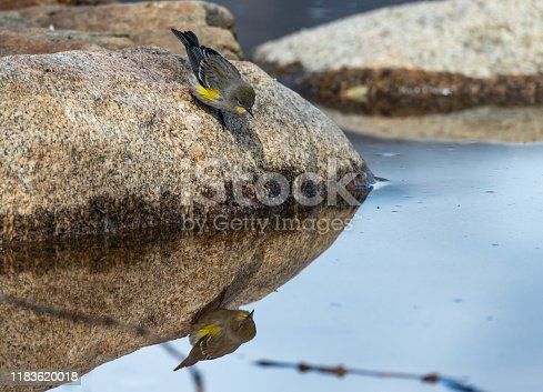 A Yellow-rumped Warbler Fledgling Curious about its Reflection