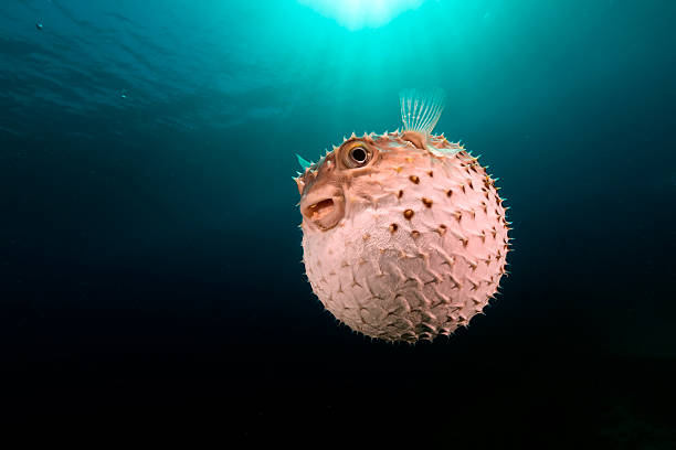 3 004 Puffer Fish Stock Photos Pictures Royalty Free Images Istock