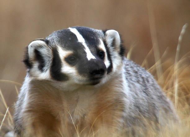 Yellowstone Badger stock photo