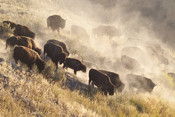 Yellowstone Bison herd bildbanksfoto