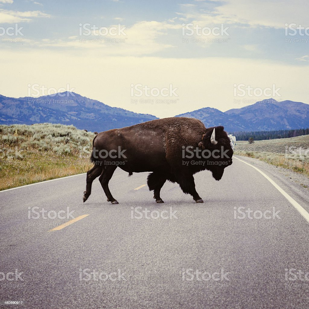 Yellowstone Bison stock photo