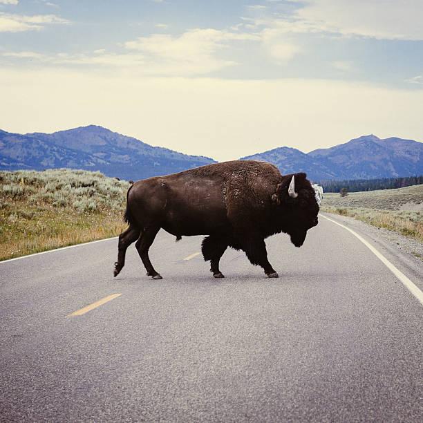 Yellowstone Bison bildbanksfoto