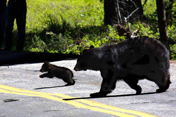 Yellowstone Black Bear and Cub stock photo