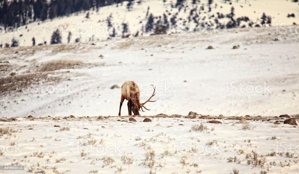 Yellowstone Bull Elk stock photo