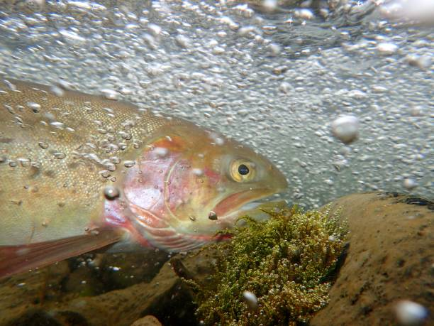 Yellowstone Cutthroat Trout a trout swims up the Yellowstone River to spawn cutthroat stock pictures, royalty-free photos & images
