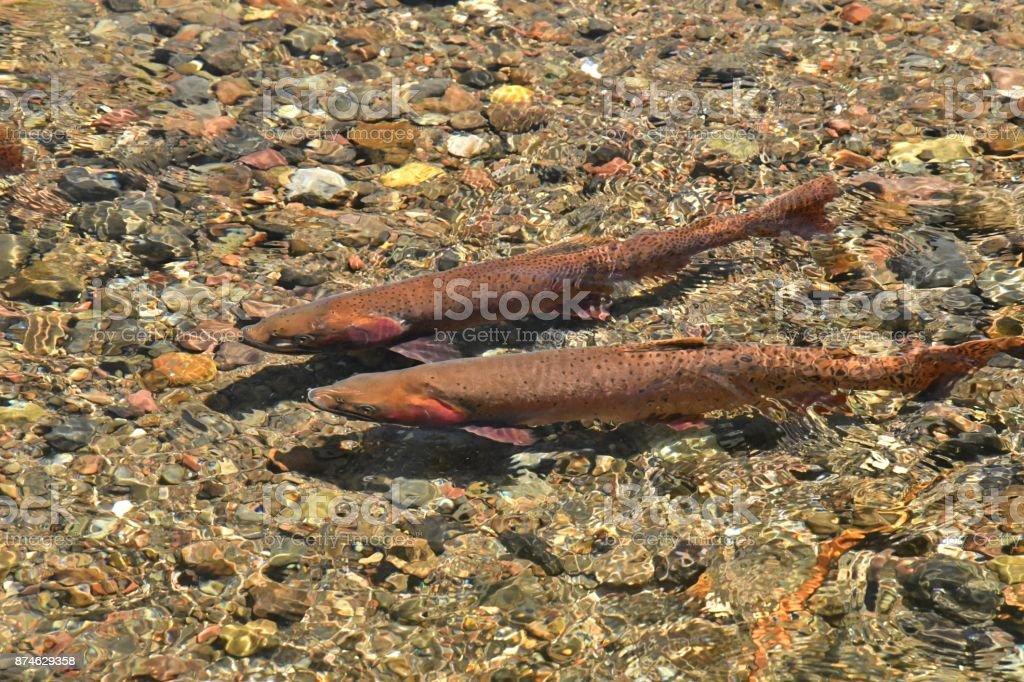 Yellowstone Cutthroat Trout stock photo