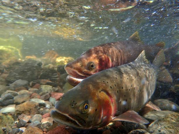 Yellowstone Cutthroat Trout trout swim up the inlet to Trout Lake in Yellowstone National Park to spawn cutthroat stock pictures, royalty-free photos & images