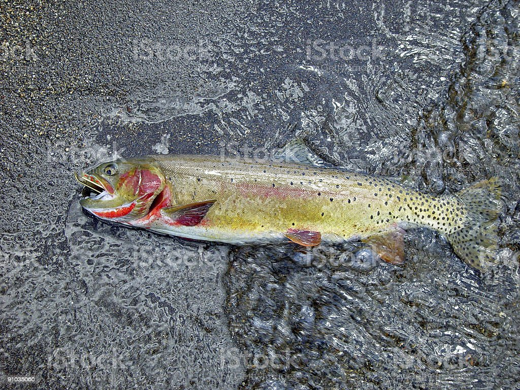 Yellowstone Cutthroat Trout Resting royalty-free stock photo