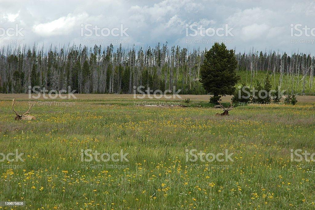 Yellowstone elk royalty-free stock photo
