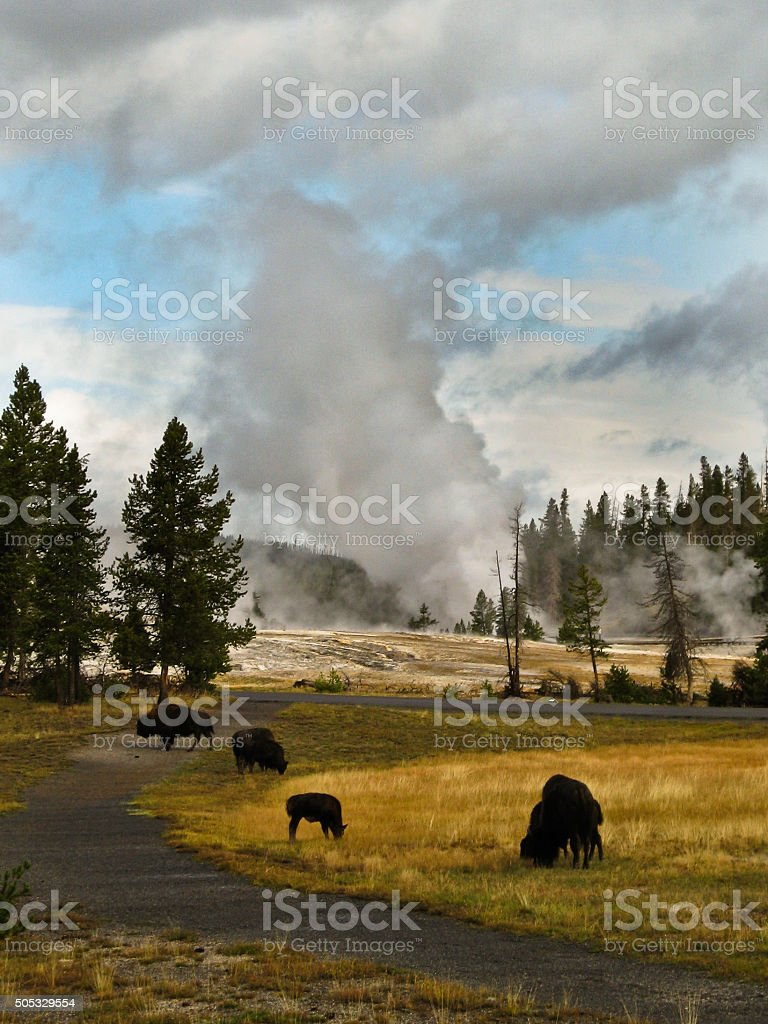 Yellowstone Lower Geyser Basin and Bison stock photo