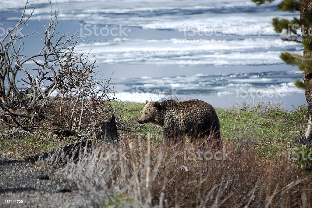 Yellowstone National Park Grizzly Bear Foraging by Frozen Lake_Yellowstone stock photo