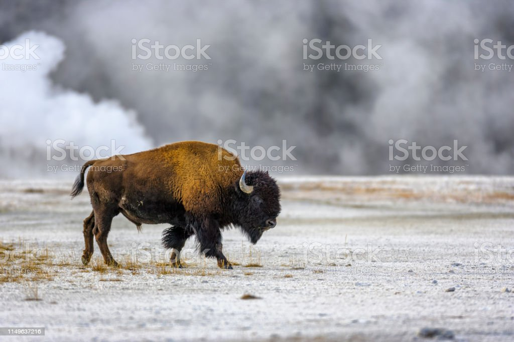 Yellowstone National Park in Wyoming Bison by the Midway Geyser Basin in Yellowstone National Park American Bison Stock Photo