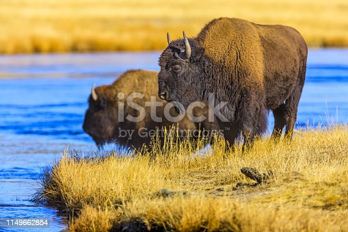 Bison crossing the Firehole River in Yellowstone National Park
