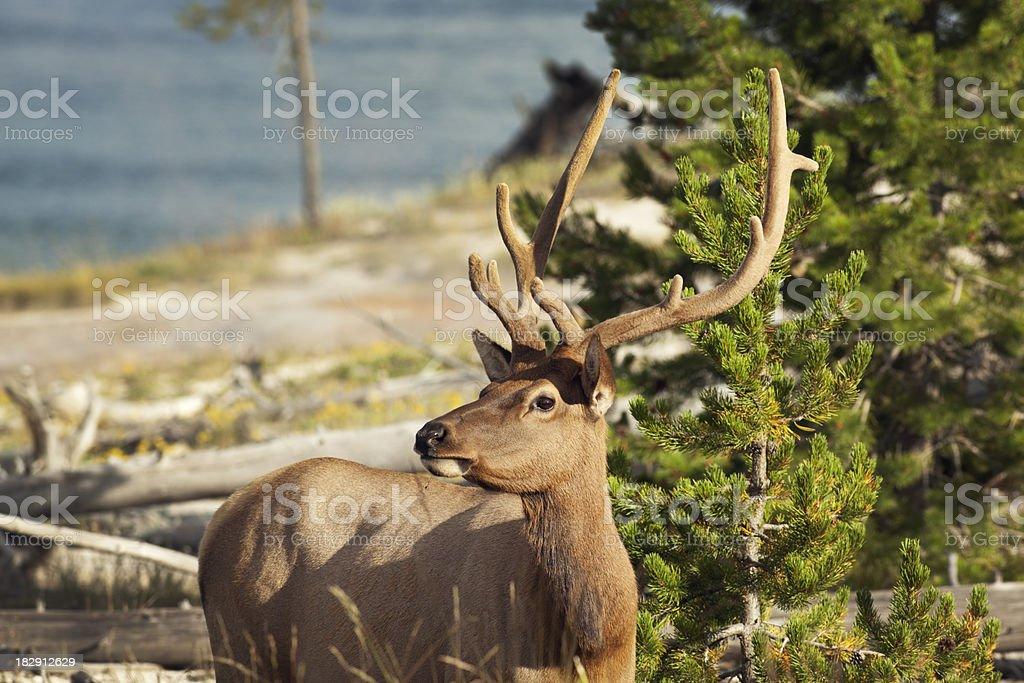 Yellowstone National Park Wildlife- Male Elk in Hayden Valley stock photo