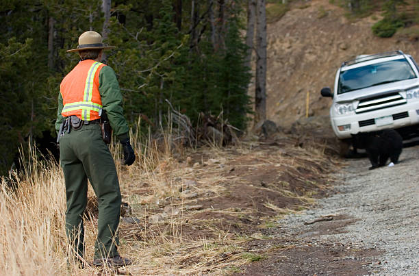 Yellowstone Ranger A Yellowstone park ranger tries to lure a bear cub away from the road.  Shallow DOF park ranger stock pictures, royalty-free photos & images