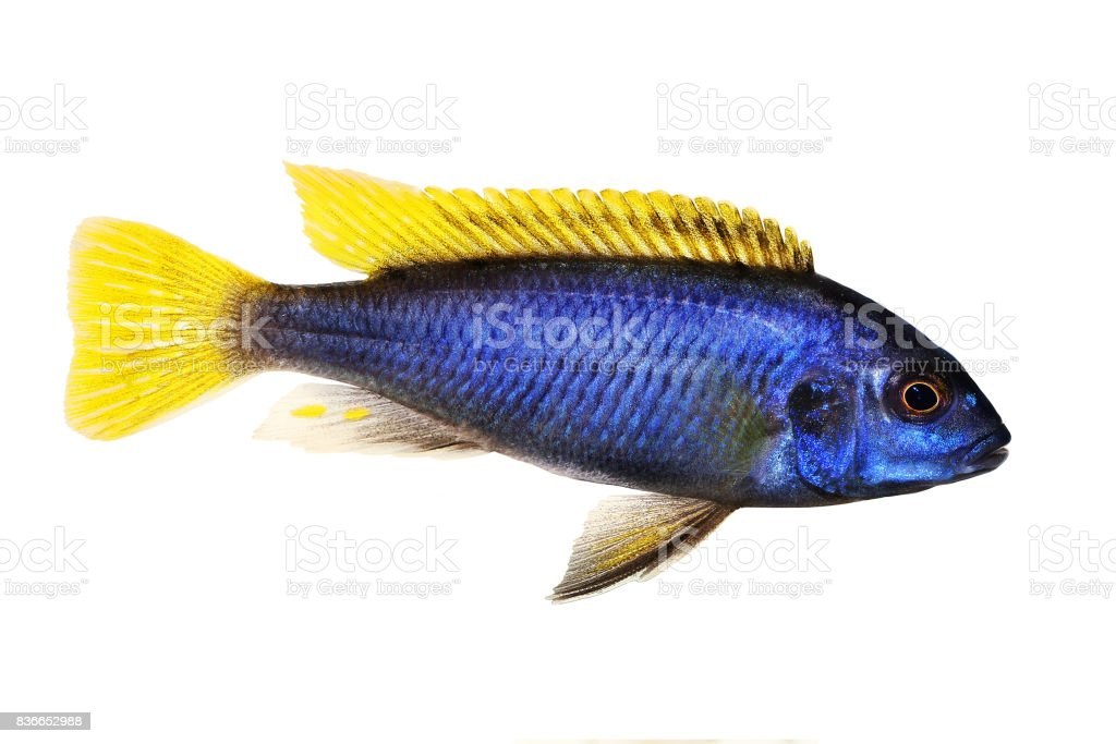 Yellow-tail Acei Cichlid Pseudotropheus aquarium fish stock photo