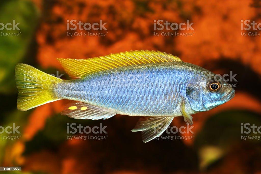 Yellowtail Acei Cichlid Pseudotropheus Aquarium Fish Stock Photo Download Image Now