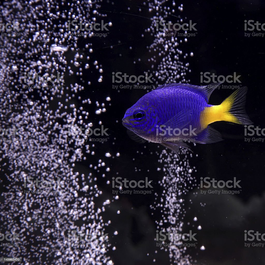 Yellowtail Damselfish stock photo