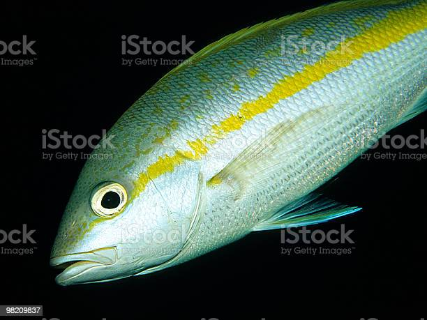 Yellowtail Snaper, Lutjanus chrysurus - Gelbschwanzschnapper, Cayo Largo/Cuba