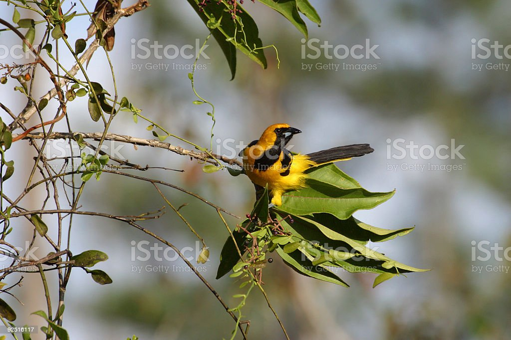 Yellow-Tailed Oriole royalty-free stock photo