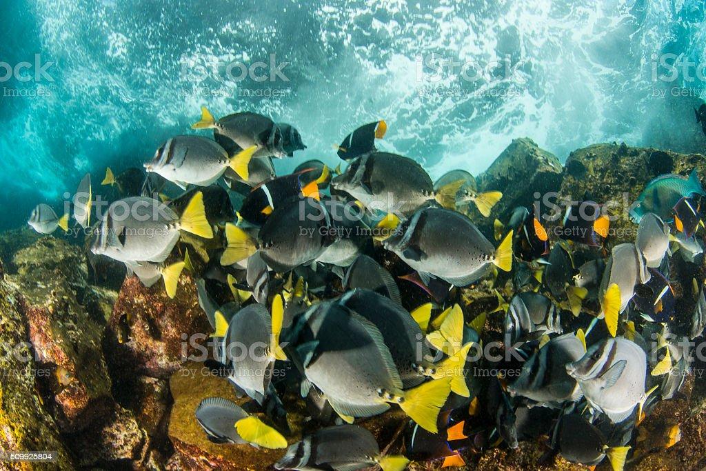 Yellowtailed Surgeonfish stock photo