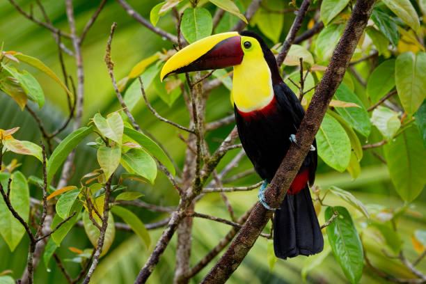 yellow-throated (zwarte-mandibled) toucan - ramphastos ambiguus is een grote toucan uit de familie toekans (ramphastidae) - ornithologie stockfoto's en -beelden