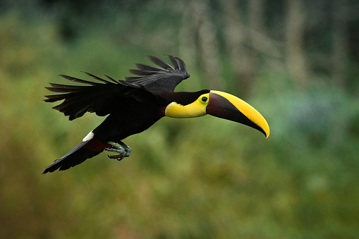 Yellow-throated (Black-mandibled) Toucan - Ramphastos ambiguus  is a large toucan in the family Ramphastidae found in Central and northern South America. Flying black and yellow bird in the forest.