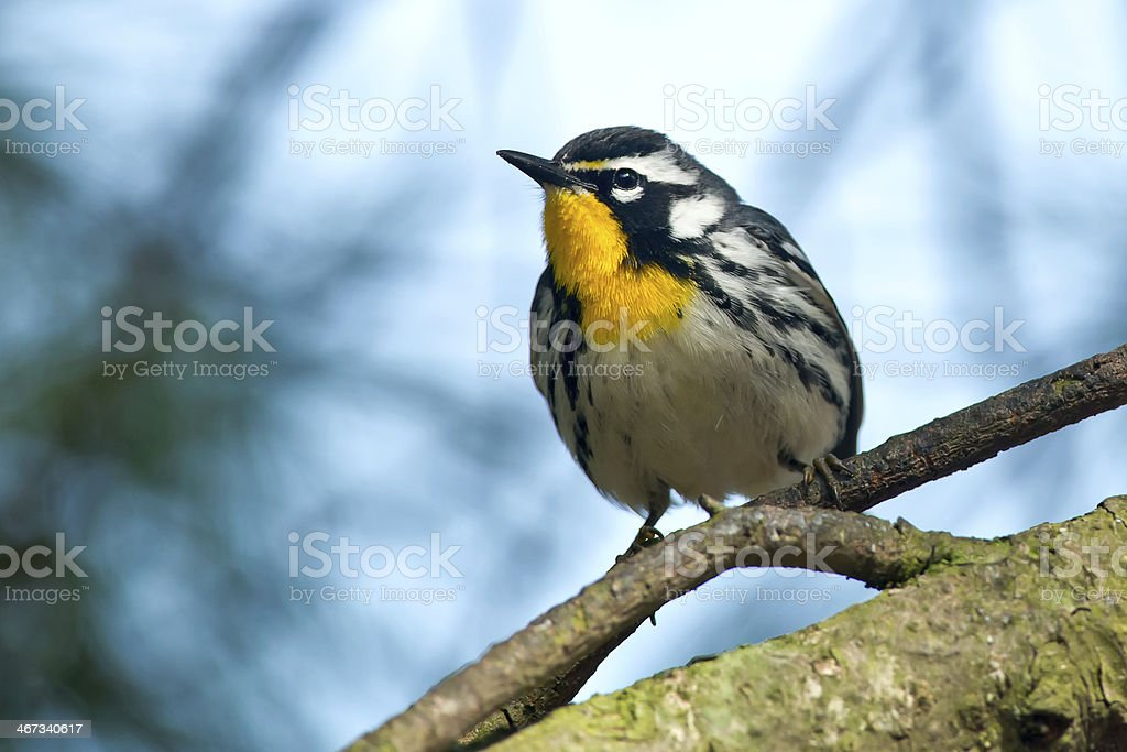 Yellow-throated Warbler stock photo