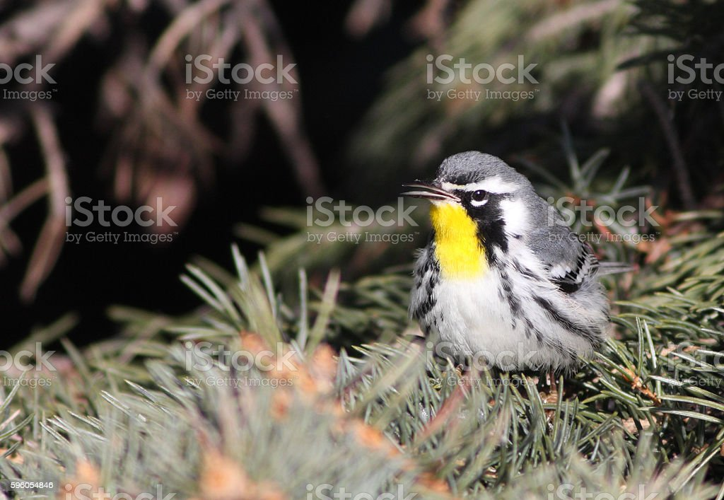 Yellow-throated warbler royalty-free stock photo
