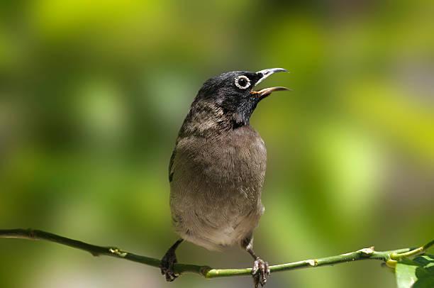 Jaune fentes Nightingale - Photo
