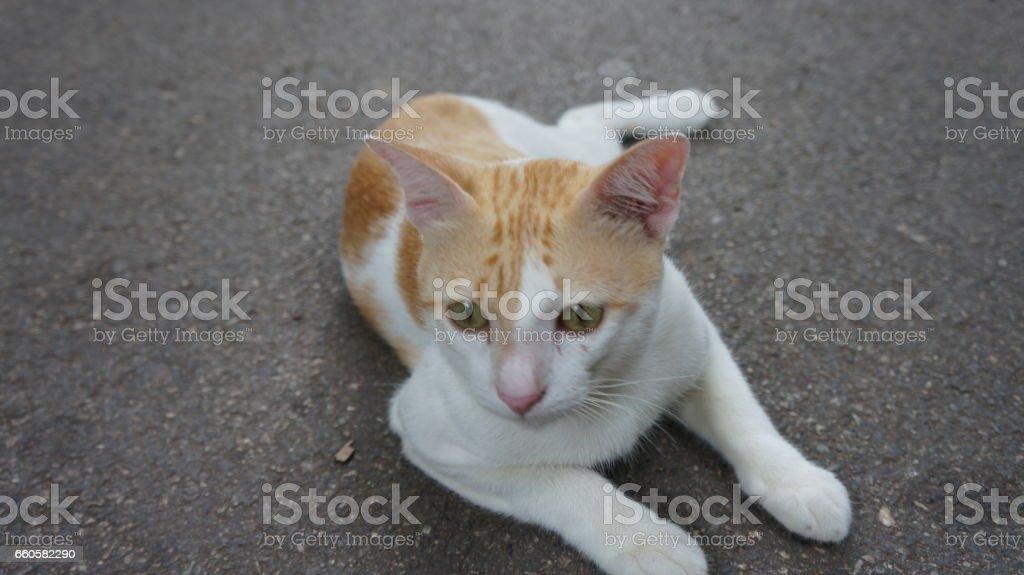 Yellow-White Cat royalty-free stock photo