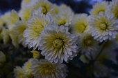 yellow-white chrysanthemums