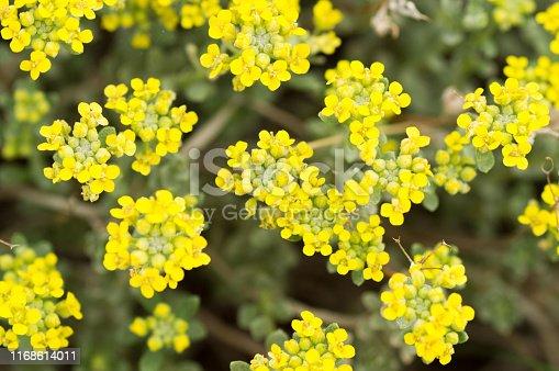 Yelow flower in the garden